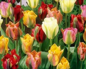 poza Bulbi de lalele Viridiflora Mix,  5 buc/punga, culoari mixte