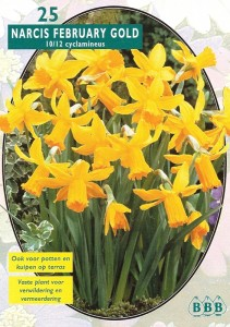 poza Bulbi de narcise floare tip trompeta ,Yellow, floare galbena, parfumata , 12 buc/pachet