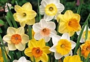 poza Bulbi de narcise floare tip trompeta , soiuri mixte, foarte parfumate, 5 buc/pachet