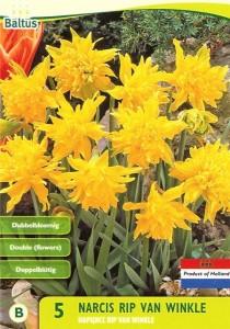 poza Bulbi de narcise mini Rip van Winkle , 5 buc/punga, floare batuta, galbena