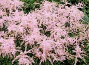 poza Flori de gradina perene Astilbe x ardensii Erica, culoare roz