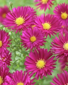 poza Flori de gradina perene Aster 'Crimson Brocade' , floare de culoare rosie
