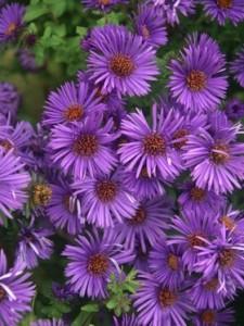 poza Flori de gradina perene 'Aster Purple Dome' , floare de culoare mov