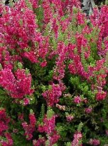 poza Flori de gradina perene 'Calluna Perestrojka' , flori culoare rosie, ghiveci 12 cm