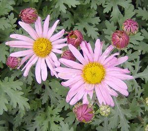 poza Flori de gradina perene 'Chrysanthemum Clara Curtis', crizantema, culoare roz, ghiv. 12 cm diam