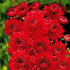 poza Flori de gradina perene 'Chrysanthemum Feuerzauber', crizantema, culoare rosu, ghiv. 12 cm diam
