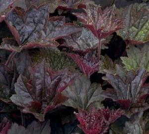 poza Flori de gradina perene 'Heuchera Palace Purple', frunzis bordo  inchis