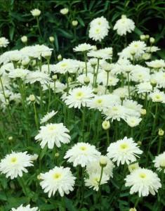 poza Flori de gradina perene, Margareta, Leuchantemum Esther Read, ghiveci 15 cm