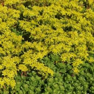 poza Flori de gradina perene Sedum hybridum