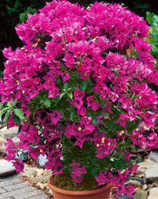 Poza Arbusti gradina Bougainvillea glabra sanderina, bougainivillea, floare de hartie, diam 50 cm. Poza 9736