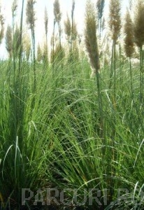 poza Ierburi graminee Cortaderia selloana Pumilla (iarba de pampas) , ghiveci 10 litri