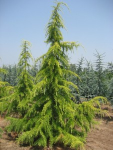 poza Arbori rasinosi CEDRU DEODORA AUREA ghiveci 50 litri, h=200-250 cm