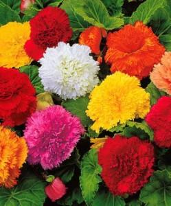 poza Bulbi plante Begonia flori franjurate, flori mixte, 3 bulbi/pachet