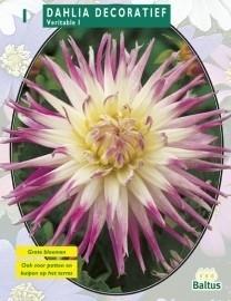 poza Bulbi flori primavara Dahlia `Decoratief ` , 1 radacina/pachet