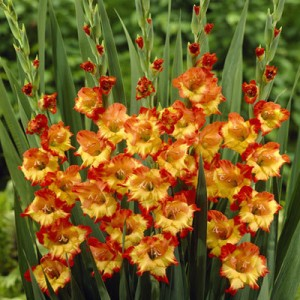 poza Bulbi flori primavara Gladiolus `Princess Margaret,`  25 bulbi/pachet