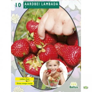 poza Capsuni stoloni, soiul `Aardbei Lambada` fructe mari ,la ghiveci