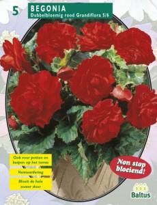 poza Bulbi flori primavara Begonia `Dubbel Rood`, 5 bulbi/pachet