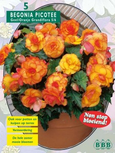 poza Bulbi flori primavara Begonia `Grandiflora Picotee`, 5 bulbi/pachet