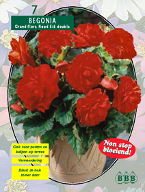 poza Bulbi flori primavara Begonia `Grandiflora rood`, 5 bulbi/pachet