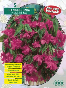 poza Bulbi flori primavara  Begonia `Pendula Roze` 5 bulbi/pachet