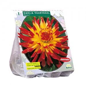 poza Bulbi flori gradina Dahlie `Vuurvogel` , 1 radacina/pachet