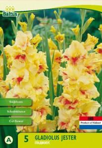 poza Bulbi flori gradina Gladiolus `Jester` , pachet 5 bulbi
