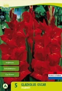 poza Bulbi flori primavara gladiole `Gladiolus Oscar`, 5 bulbi / pachet
