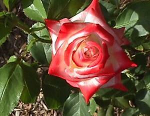 poza Trandafiri de gradina cu radacina ambalata  Printesa Farah