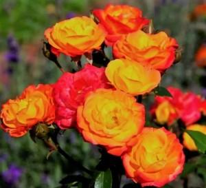 poza Trandafiri de gradina Floribunda ` cu radacina ambalata 'Rumba`