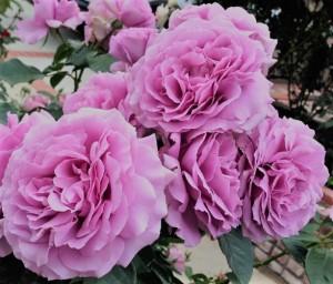 poza Nou!!! Trandafiri de gradina cu radacina ambalata soiul 'Novalis'