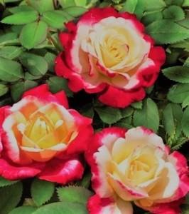 poza Trandafir de gradina cu radacina ambalata 'Laminuette'