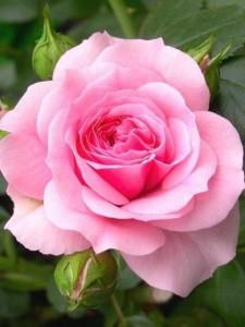 poza Trandafiri de gradina Polyantha Caresse tufe formate cu radacina in ghiveci de 3.5 litri