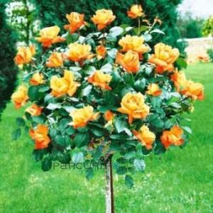 poza Trandafiri altoiti pe picior h=1,2-1,3 m - culoare orange   Thea hybrida, colorati si parfumat la ghiveci de 5 litri