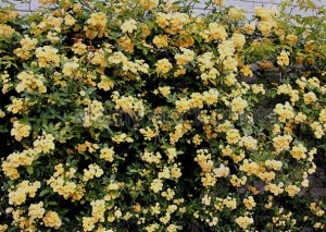 poza Trandafiri urcatori soiul  Banksiae Lutea  H200-250 cm, ghiveci de 5 litri