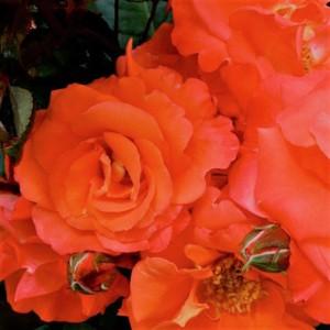 poza Trandafiri pitici de gradina' Orange imp'  (portocaliu ), in ghiveci de 2 litri