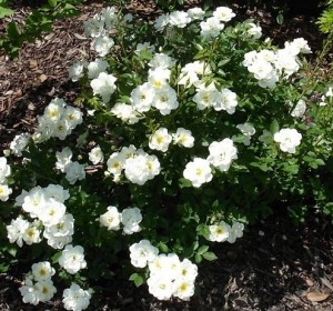 poza Trandafiri pitici de gradina ' Sea foam'  (alb), in ghiveci de 2 litri