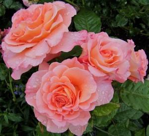 poza Trandafiri de gradina cu radacina Augusta Luise la ghiveci de 3 litri