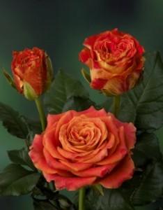 poza Trandafiri pitici butasi cu radacina ambalata, soiul`Magic Hit`