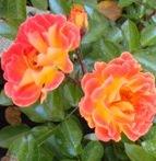 poza Trandafiri pitici de gradina Bessy rosu-portocaliu in ghiveci de 2 litri