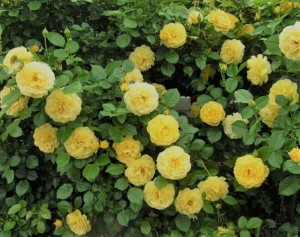 poza Trandafiri pitici de gradina soiul  Fairy Gold, in ghiveci de 1 litru