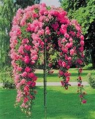 poza Trandafir altoit pe picior h=1,3-1,5m soiul Rosa Chiaro la ghiveci 5 litri