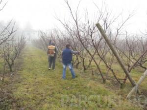 poza Tratamentul fitosanitar sau stropirea pomilor fructiferi medii (inaltime 3 - 4 metri)