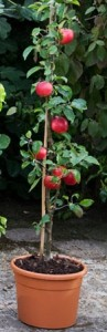 poza NOU!  Meri soiul  columnar  'Polka'  Pomi fructiferi puieti altoiti, cu radacina ambalata.