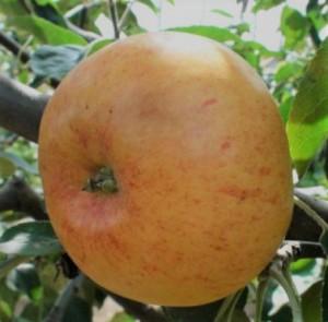 poza NOU!  Meri soiul ' Gravenstein'  Pomi fructiferi puieti altoiti, cu radacina ambalata.