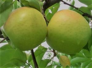 poza Meri soiul `Mutsu`. Puieti pomi fructiferi altoiti,cu radacina ambalata.