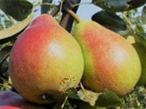 poza Peri soi `Napoca`. Pomi puieti fructiferi altoiti,cu radacina ambalata.
