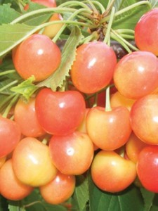 Poza Pomi fructiferi Ciresi soiul `Vega `. Puieti fructiferi altoiti.. Poza 9946