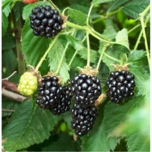 poza Arbusti fructiferi Mur, soiul Dirksen, radacina ambalata