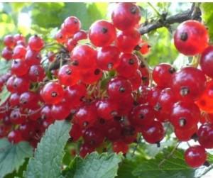 poza Arbusti fructiferi Coacaz rosu, soiul 'Rondom', radacina ambalata.
