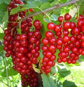 poza Arbusti fructiferi Coacaz rosu, soiul 'Jonkheer Van Tets'/Rovada, ghiveci 1l,h=28 cm
